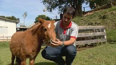 Fazenda vira referência em criação de pequenos animais em Alfenas, MG - Vaca com 60 centímetros de altura é xodó de estabelecimento.