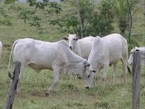 Encerra o prazo para a declaração de vacinação contra febre aftosa em Rondônia - Produtores rurais que não fizeram a declaração serão multados.