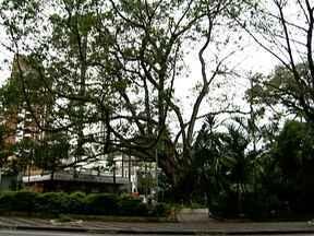 Prefeitura e moradores de Higienópolis tentam acordo sobre árvore da Vilaboim - A prefeitura quer cortar o gigantesco Ficus da Praça Vilaboim porque a árvore está doente e corre o risco de cair. Na semana que vem, os moradores voltam a se reunir com a prefeitura. .