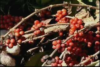 Clima desfavorável provoca perdas na colheita do café conilon no ES - A colheita do conilon está terminando no estado. O preço está bom, mas o clima não ajudou muito.