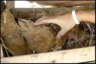 Produtores rurais em Glaucilândia recebem treinamentos para melhorar a criação de galinhas - Eles aprendem técnicas que podem melhorar a renda e alimentação das famílias.