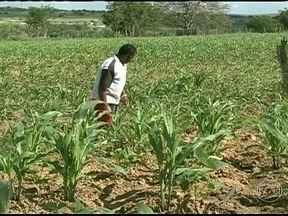Lavouras de milho são atacadas por lagartas no sertão de Alagoas - No sertão de Alagoas, os agricultores estão com problema nas lavouras de milho. Elas estão sendo atacadas pela lagarta do cartuxo, uma praga que aumenta no período de estiagem.