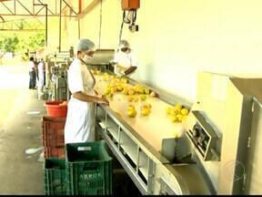 Agricultores de Visconde do Rio Branco, MG apostam na polpa da goiaba como fonte de renda - Colheita da fruta é realizado o ano inteiro na cidade.