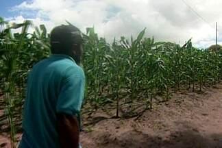 Na cidade de Lagoa de Roça, agricultores estão otimistas com colheita de milho - Segundo técnico da Emater, chuvas atrasaram um pouco o calendário da colheita.