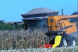 Produção do milho safrinha sofre queda em Luziânia - A expectativa dos produtores era superar o resultado do ano passado, mas queda na produtividade chega a quase 20%.