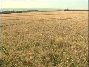 Metade da produção de trigo do oeste do estado foi perdida com a geada - As belas imagens do frio da semana passada deram lugar a uma cena triste nas lavouras
