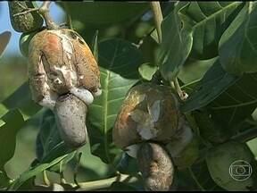 Agricultores do Ceará estão preocupados com avanço de doença nas plantações de caju - A doença de oídio é provocada pelo fungo de mesmo nome e acaba com a fruta ou impede o crescimento da castanha. Ela apareceu recentemente mas já preocupa os agricultores.