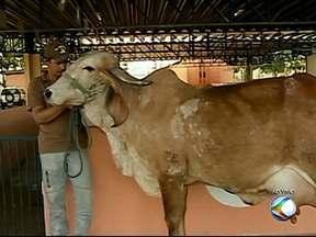 Vaca recordista mundial em produção de leite está em Uberlândia - Animal participa do Torneiro Leiteiro no Camaru.