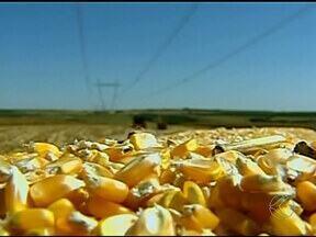 Produtores do Alto Paranaíba estão animados com a colheita do milho - A colheita do milho da terceira safra, o chamado milho safrinha, está quase no fim. Neste ano o grão ocupou uma área maior que a do ano passado em Minas.