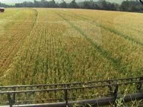 Agricultores calculam estragos provocados pela geada na colheita do trigo em PR - Além de calcular os prejuízos, os agricultores têm que tomar providências para o plantio da safra de verão.