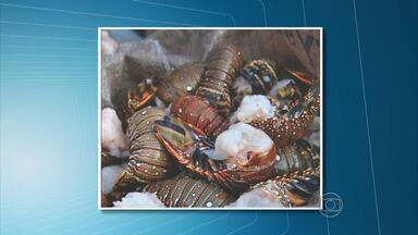 Polícia Federal apreende 151 quilos de lagosta em Igarassu - Mercadoria é considerada ilegal porque as lagostas ainda estão muito novas.