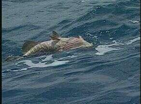 Badejo-quadrado - Mycteroperca bonaci - Este peixe é conhecido também pelos nomes de badejo-preto, serigado, mero-badejo, garoupa-piragia, badejo-ferro, serigado-preto, badejo-do-alto, badejo-padre e saltão.
