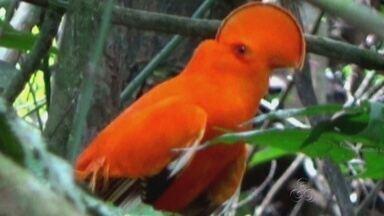 Período de reprodução do Galo da Serra fecha parque em Presidente Figueiredo, no AM - Ave rara é típica da região conhecida como 'Terra das Cachoeiras'.