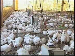 Falta de energia provoca morte de quase 7 mil frangos em Arealva - Milhares de frangos morreram por causa do calor em uma granja em Jacuba, distrito de Arealva (SP). De acordo com o proprietário e os funcionários, nos últimos três dias, a granja ficou pelo menos 20 horas sem energia elétrica.