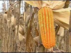Agricultores de milho comemoram a boa colheita no Sergipe - Após uma safra frustrada pela seca, os agricultores comemoram este ano uma boa colheita. Além de atingir a produção esperada, os grãos são de qualidade.