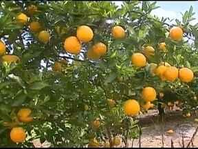 Produção de laranja em São Paulo apresenta queda - A colheita da safra da fruta no estado já passou da metade e a produção está bem abaixo do esperado. Mesmo com a redução na oferta da fruta no mercado, o preço não reagiu.