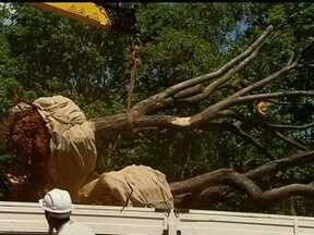 Árvores são retiradas da Estrada Parque Aeroporto por causa da obra do Expresso DF - As 67 sibipirunas vão de caminhão para o viveiro da Novacap. Segundo os engenheiros, elas tiveram que ser podadas para se adaptarem mais facilmente no outro terreno.