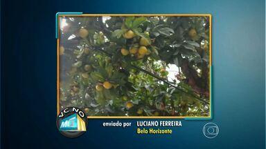 Internauta denuncia risco de queda de frutos de árvore no Centro de Belo Horizonte - Peso dos frutos poderia machucar pedestres, segundo Luciano Ferreira.