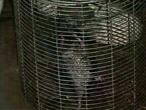 Morcego encontrado com raiva deixa vigilância sanitária de Irati em alerta - O animal foi encontrado em uma casa na cidade. Por isso, a vigilância pede que a população tome alguns cuidados para evitar a contaminação.