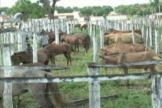 Aged apreende animais que estavam sendo transportados de forma irregular - Os animais foram levados para o Parque de Exposições de Balsas, que acabou sendo interditado por causa do risco de contaminação.