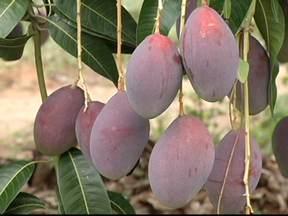 Um dos maiores polos irrigados de produção de frutas da América Latina fica no norte de MG - A exportação vem estimulando o aumento na produção dos pomares. As exportações brasileiras de frutas somaram 690 milhões de dólares no período de janeiro a outubro de 2013.