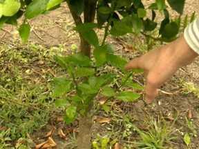 Pé de tangerina também produz limão em propriedade do Paraná - A muda de tangerina vem enxertada no cavalo de limão cravo. Por isso, há o surgimento de ramos de limão. A orientação do agrônomo é a eliminação dos ramos antes do aparecimento dos frutos.