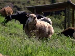 Procura por carne de cordeiro causa aumento na criação de ovinos em SP - O rebanho de ovinos dobrou de tamanho nos últimos 20 anos no Estado. Uma das novas criações fica na propriedade de Morungaba, em SP.