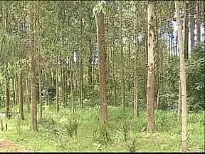 Agricultores lucram com o cultivo de pinus e eucalipto - A produção funciona como uma poupança.