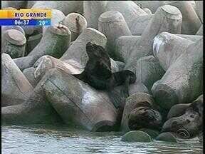 Molhes da Barra, em Rio Grande, RS, são refúgio para leões-marinhos - Animais também são vítimas de agressões.