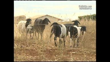 Reveja matérias sobre o trabalho de criadores de ovinos e caprinos que enfrentam a seca - Mesmo com a pior estiagem dos últimos 40 anos atingindo suas propriedades, em Irecê, criadores conseguem manter animais bem alimentados.
