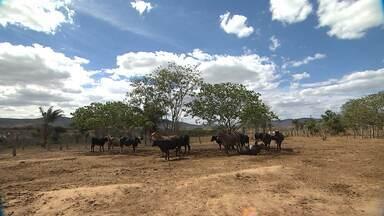 Técnicos ensinam agricultores a conviver adequadamente com a seca - Há 4 anos, seca tem sido impiedosa no semiárido baiano. Alguns agricultores perderam se desfizeram do rebanho e até abandonaram terras.