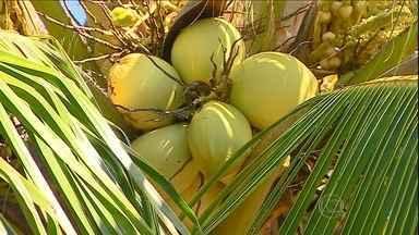 Pesquisadores buscam desenvolver mudas de coco com alto padrão de qualidade - Pesquisadores percorrem o banco em busca de informações. Amostras dos coqueiros são levadas para o laboratório para desenvolver mudas com alto padrão de qualidade.