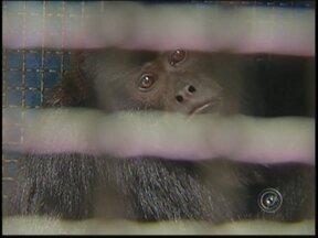 Depois de quatro horas, macaco é capturado em Palestina, SP - Depois de mais de quatro horas, homens da Polícia Ambiental e do Corpo de Bombeiros conseguiram capturar o macaco bugiu que estava solto em Palestina (SP).