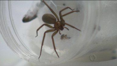 Mudar hábitos pode evitar a aranha-marrom - Mudanças na casa podem evitar o aparecimento da aranha-marrom.