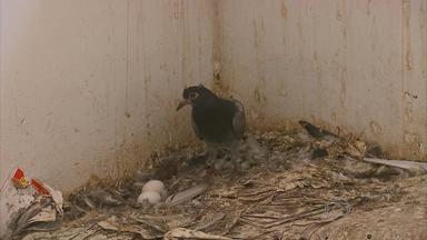 Presença de pombos leva risco à saúde de moradores de residencial em Jaboatão - No condomínio Marcos Freire, há 96 apartamentos.