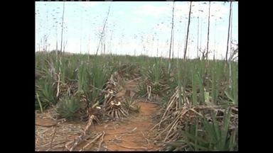Mesmo com chuva, agricultores de Campo Formoso enfrentam dificuldades - A água que caiu ainda não foi o suficiente para quem planta sisal.