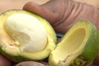 Famílias no Ceará comemoram a renda extra com a catação de pequi - Na Chapada do Araripe, fruto é a principal fonte de renda nesta época. Precisa esperar o fruto amadurecer e cair do pé, para aí fazer a catação.
