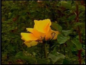 Produtores do Vale do Aço apostam no plantio de rosas - Mesmo com o clima desfavorável, produtores investem para no cultivo das rosas.