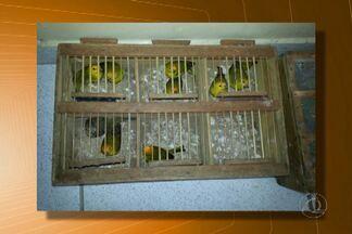 Cerca de 70 pássaros silvestres são apreendidos pela Polícia Ambiental em Campina Grande - Eles estavam em carro com placa de Pernambuco.