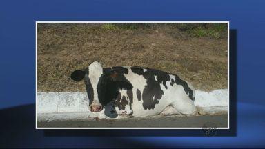 Vacas são abandonadas e causam acidentes em rodovia - Vacas são abandonadas e causam acidentes em rodovia
