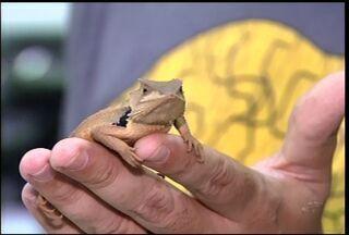 Professores e alunos da Urca descobrem espécie rara de lagarto - Descoberta foi feita em Santana do Cariri.