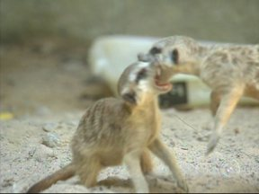 Casal de suricatas nascido em zoo é nova atração no Quinzinho de Barros em Sorocaba - Um casal de suricatas é a novidade do Zoológico Quinzinho de Barros, em Sorocaba (SP). A reprodução foi feita em cativeiro. Sinal de que os animais estão bem adaptados.