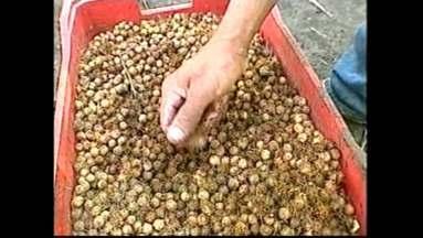 Já pensou em extrair suco de palmito? - Agricultores do litoral aprendem a cultivar o palmito jussara e a aproveitar o suco das frutinhas