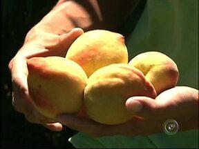 Produtores de pêssegos comemoram a safra em Guapiara - A safra do pêssego na região de Guapiara (SP) deve trazer lucros aos produtores. Mesmo com as alterações climáticas, a produção foi satisfatória e o preço para venda tem agradado quem investiu no cultivo.