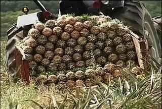 Safra de abacaxi - Agricultores de Paranapanema fazem a colheita do abacaxi e estão animados com a produção. O clima ajudou e a fruta se desenvolveu bem