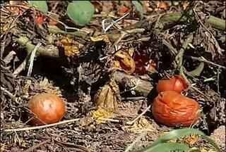 Preço do tomate - Produtores de Ribeirão Branco reclamam do preço pago pelo tomate. Situação piorou com o aumento da oferta no mercado