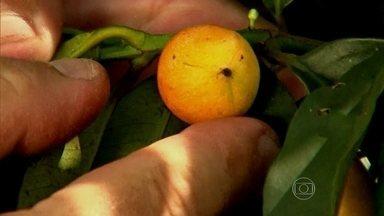 Bacupari é a grande esperança nas pesquisas contra o câncer - A pesquisadora Maria das Graças, da Universidade Federal de Minas, buscou nos livros o mapa para encontrar as frutas nativas do Brasil. Uma delas é o bacupari.