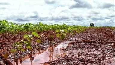 Chuva prejudica desenvolvimento de lavouras de algodão em Mato Grosso - O excesso de chuva tem provocados buracos nas linhas de plantio e dificultado o combate às pragas e doenças. Agricultores temem uma redução na produtividade.