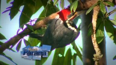 Meu Paraná mostra o espetáculo das aves - Conheça as aves que dão cor e som ao céu do Paraná