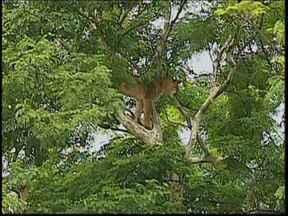 Onça parda aparece em árvore de parque na área central de Bauru - Os bombeiros já aplicaram tranquilizantes, mas até às 18h40, o animal continuava acordado em cima da árvore, a uma altura de cerca de 10 metros do solo. Por causa da interdição, o trânsito em grande parte da avenida está complicado.